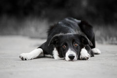 Young puppy border collie Stock Image