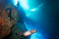 Young puppy californian sea lion touching a scuba diver Stock Photos