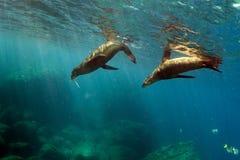 Young puppy californian sea lion touching a scuba diver Stock Photo