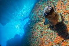 Young puppy californian sea lion Stock Photo