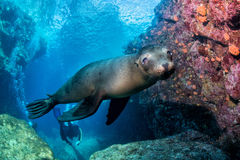 Young puppy californian sea lion Stock Image