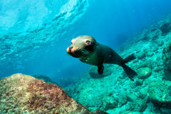 Young puppy californian sea lion Royalty Free Stock Image