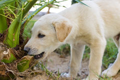 Young puppy chewing a plant. Young puppy playing in the garden chewing a plant Royalty Free Stock Photography