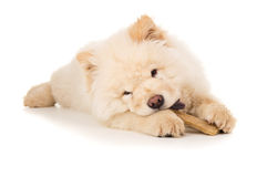 Young puppy chow chow gnaws bone Royalty Free Stock Photo