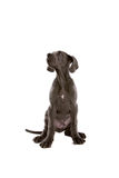 Young puppy dog Stock Photography