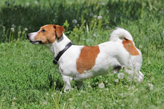Young puppy dog Jack Russell terrier Royalty Free Stock Images