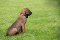 Young puppy of Fila Brasileiro (Brazilian Mastiff) Royalty Free Stock Photo