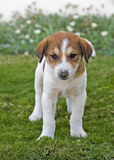 Young puppy in the garden Royalty Free Stock Photos