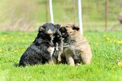 Young puppy Royalty Free Stock Photography