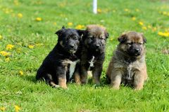 Young puppy Royalty Free Stock Photo