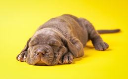Young puppy italian mastiff cane corso lying. On yellow background Stock Photos