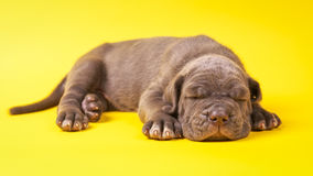 Young puppy italian mastiff cane corso lying. On yellow background Royalty Free Stock Images