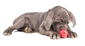 Young puppy italian mastiff cane corso playing with red apple Stock Photo