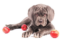 Young puppy italian mastiff cane corso and red apples Royalty Free Stock Image