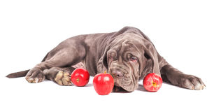 Young puppy italian mastiff cane corso and red apples Royalty Free Stock Photo