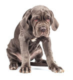 Young puppy italian mastiff cane corso. On white background Stock Photography
