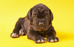 Young puppy italian mastiff cane corso on yellow backgroun Royalty Free Stock Photography