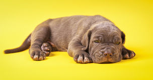 Young puppy italian mastiff cane corso on yellow background Stock Image