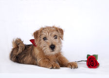 Young puppy lying on white floor and a red rose royalty free stock photos