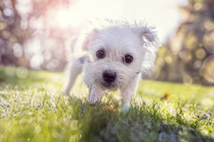 Young puppy outside for a walk in the park. Young puppy outside walking in the park on a sunny day Royalty Free Stock Images