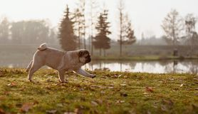 A young puppy pug, dog, animal, pet is running in a park on an autumn, sunny and beautiful day during golden hour
