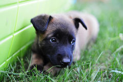 Young puppy. Young puppies belgian shepherd malinois in field Stock Images