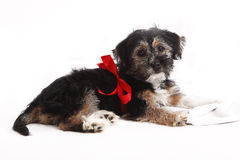 Young puppy with red bow for present Royalty Free Stock Images