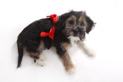 Young puppy with red bow for present Royalty Free Stock Photo