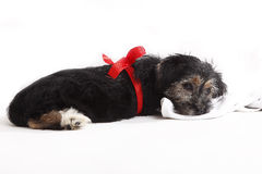 Young puppy with red bow for present Stock Photo