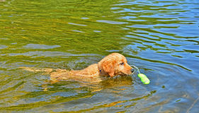 Young puppy retrieving his toy as he approaches it in the water Royalty Free Stock Photos