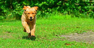Young puppy running through the grass towards the camera HDR Royalty Free Stock Image