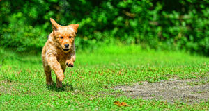 Young puppy running towards the camera in the grass HDR Royalty Free Stock Images