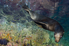 Young puppy seal californian sea lion coming to you Stock Images