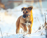 Young puppy on snow in winter. Portrait at sunset royalty free stock photo