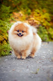 Young puppy Spitz in autumn Stock Photography