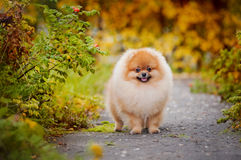 Young puppy Spitz in autumn Royalty Free Stock Image