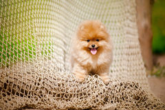 Young puppy Spitz looks at the camera Royalty Free Stock Photos