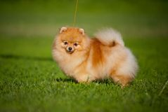 Young puppy Spitz in summer Royalty Free Stock Images