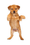 Young Puppy Standing Up Royalty Free Stock Images