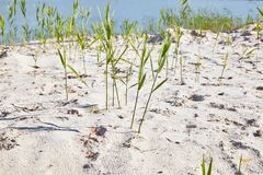 Young pure grass with leaves groving from the pure lake sand. royalty free stock photography