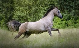 Young Purebred Arabian horse galloping through the grass in a meadow with a forest in the background. Young gray Purebred Arabian horse with black mane galloping royalty free stock image