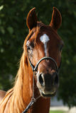 Young purebred arabian stallion on pasture Royalty Free Stock Photos