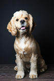 Young purebred Cocker Spaniel. Royalty Free Stock Image