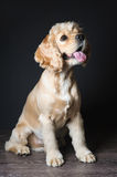 Young purebred Cocker Spaniel. Royalty Free Stock Images