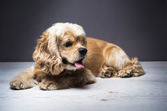 Young purebred Cocker Spaniel on wooden floor. Dog on a white wooden floor. American cocker spaniel lying and looking to side with interest. Young purebred stock photography
