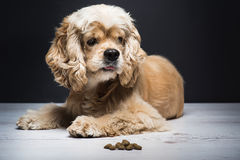 Young purebred Cocker Spaniel on wooden floor Royalty Free Stock Photos