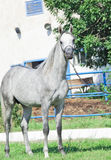 Young purebred gray Arabian stallion at stable. Background. Outdoor Stock Photos