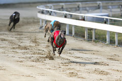 Young purebred greyhounds running on the race Royalty Free Stock Photos