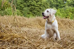 Young purebred labrador dog puppy lying in a field on straw while the sun shines Royalty Free Stock Photo