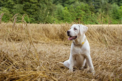 Young purebred labrador dog puppy lying in a field on straw while the sun shines Stock Photography